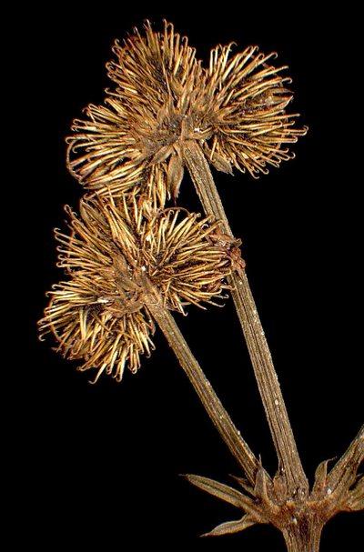 Sanicula europaea L.