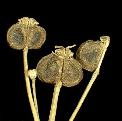 Smyrnium perfoliatum L. subsp. perfoliatum