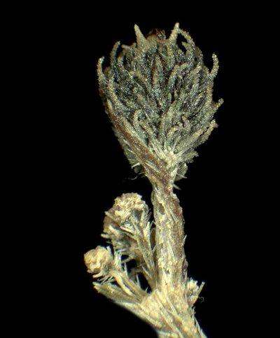 Torilis japonica (Houtt.) DC.
