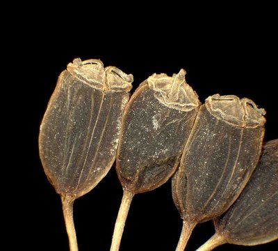 Opopanax chironium (L.) W.D.J. Koch