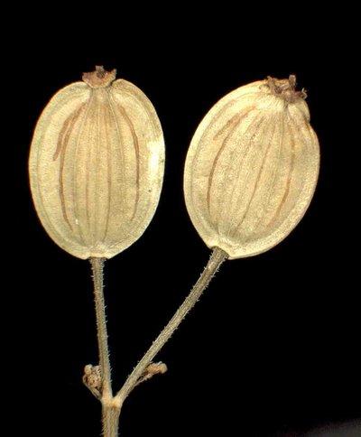 Pastinaca sativa L. subsp. sativa