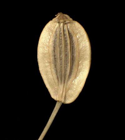 Pteroselinum rablense (Wulfen) Rchb.