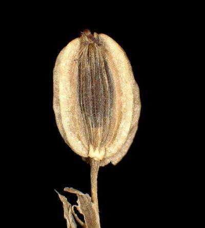 Pteroselinum austriacum (Jacq.) Rchb.