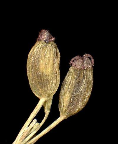 Dichoropetalum carvifolium-chabraei (Crantz) Soldano, Galasso & Banfi