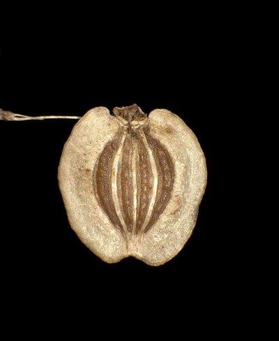 Oreoselinum nigrum Delarbre