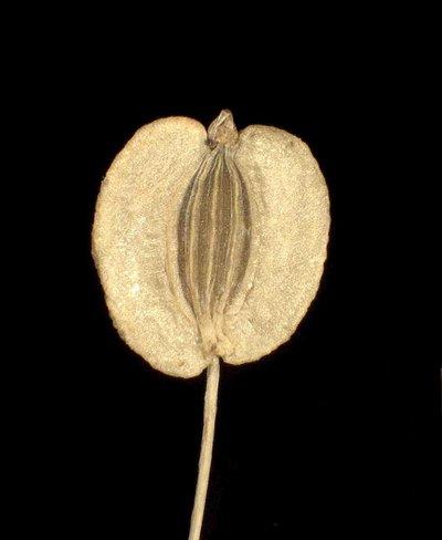 Imperatoria ostruthium L.