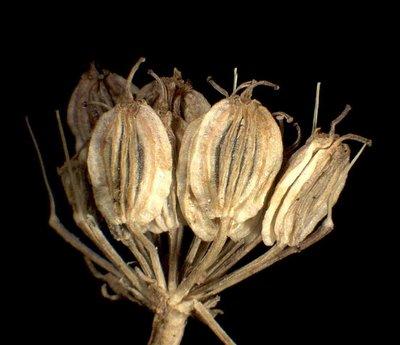 Thyselinum palustre (L.) Raf.