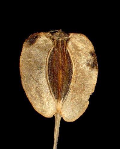 Tommasinia verticillaris (L.) Bertol.