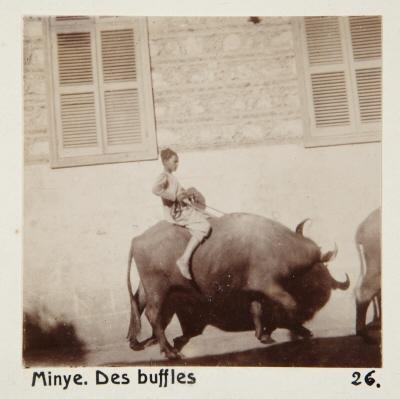 Fotografi. Bufflar i Minya, Egypten.