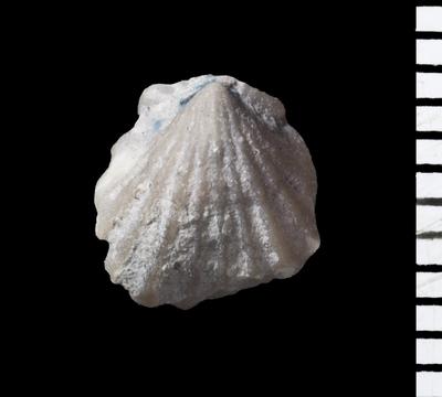 Stegerhynchus estonicus Rubel, 1977