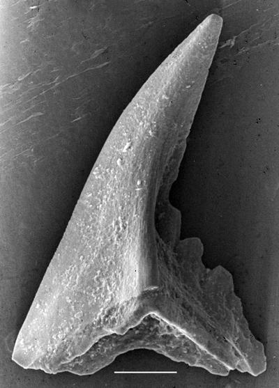 Pterospathodus amorphognathoides lennarti Männik, 1998