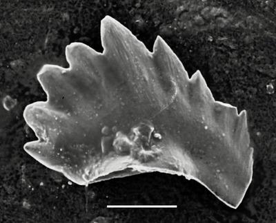 Pterospathodus amorphognathoides angulatus (Walliser, 1964)