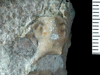 Apianurus sp.