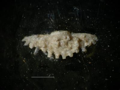 Diacanthaspis sp. indet. B Bruton, 1968