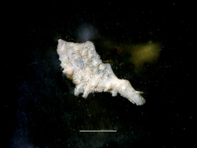 Diacanthaspis sp. indet. C Bruton, 1968