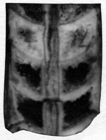 Orthoceras novum Stumbur