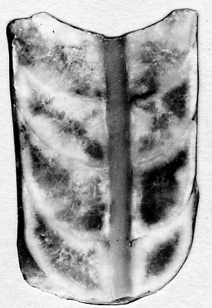 Michelinoceras quantulum Stumbur, 1955
