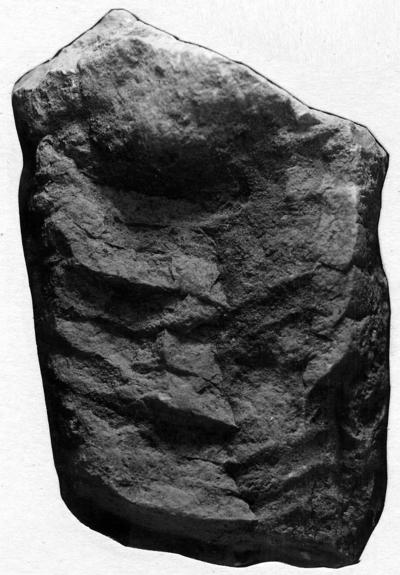 Endoceras magnum Stumbur