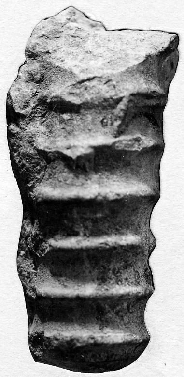 Spyroceras clathrato-annulatum (Roemer)