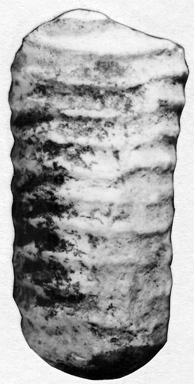 Spyroceras senckenbergi Teichert