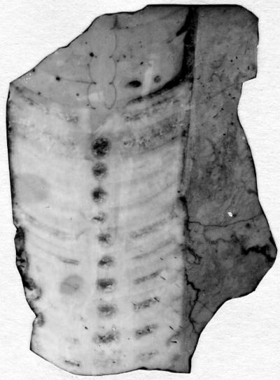 Sactoceras dominum Stumbur