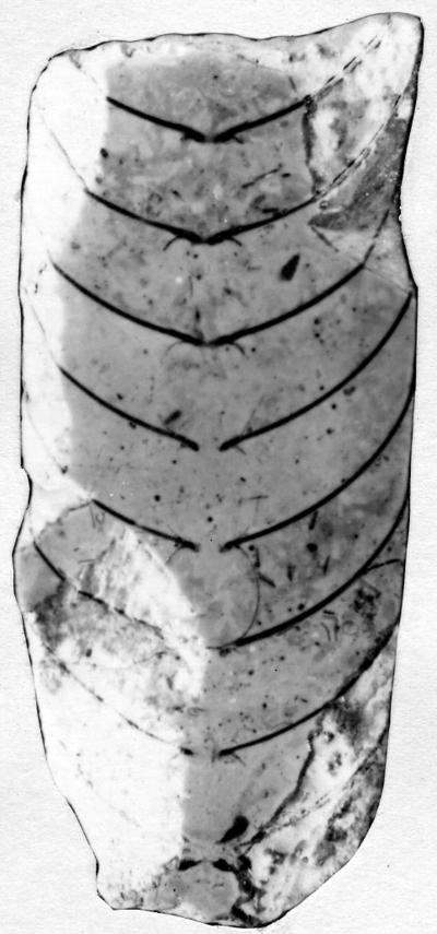 Sactoceras heckeri (Teichert)