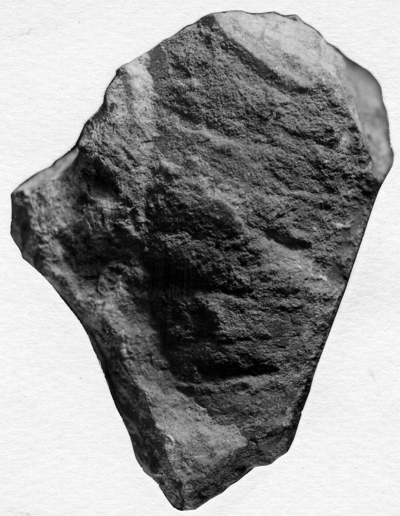 Phragmoceras saxbyense Stumbur