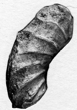 Discoceras antiquissimum (Eichwald, 1842)