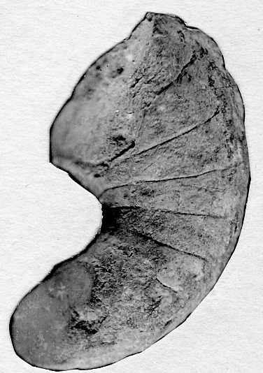Charactoceras estonicum Strand, 1933