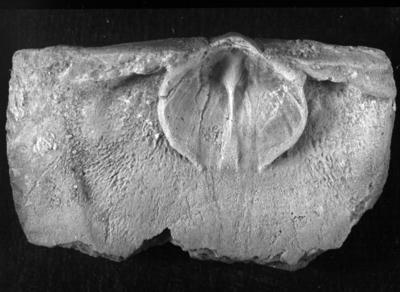 Strophomena (Strophomena) adilensis (Rõõmusoks, 1993)