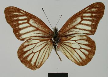 Catasticta ctemene (Hewitson, 1869)