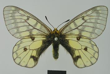 Parnassius eversmanni Ménétriés, 1855