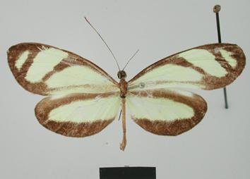 Moschoneura pinthous (Linnaeus, 1758)