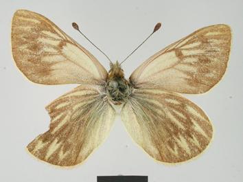Hypsochila argyrodice (Staudinger, 1899)