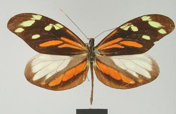 Dismorphia amphione (Cramer, 1779)
