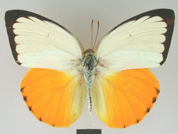 Catopsilia scylla (Linnaeus, 1763)
