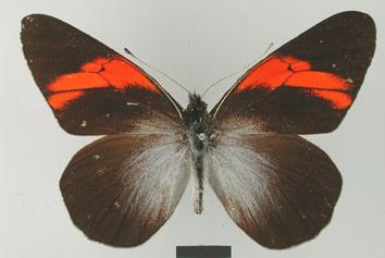 Pereute callinira Staudinger, 1884