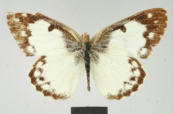 Colotis vestalis (Butler, 1876)