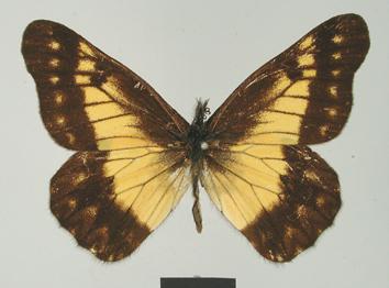 Catasticta chelidonis (Hopffer, 1874)