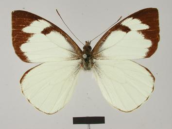 Leptophobia erinna (Hopffer, 1874)
