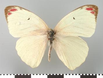 Colotis eunoma (Hopffer, 1855)