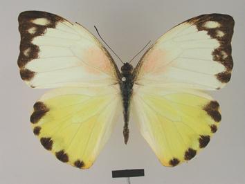 Nepheronia argia (Fabricius, 1775)