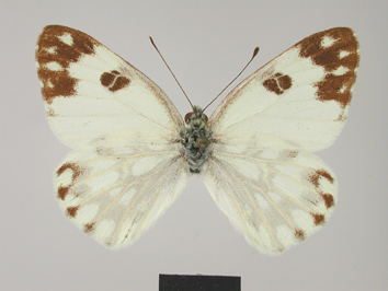 Pontia glauconome Klug, 1829