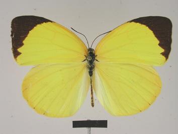 Pyrisitia leuce (Boisduval, 1836)