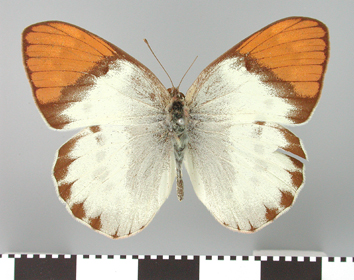 Colotis hildebrandti (Staudinger, 1885)