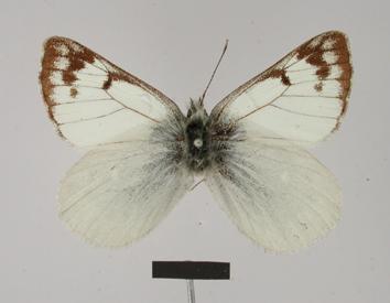 Piercolias huanaco (Staudinger, 1894)