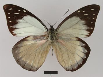 Prioneris hypsipyle Weymer, 1887