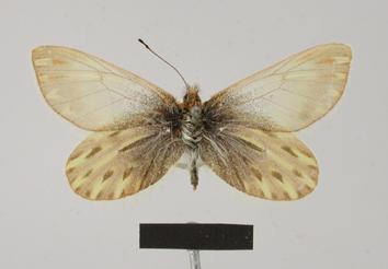Infraphulia illimani (Weymer, 1890)