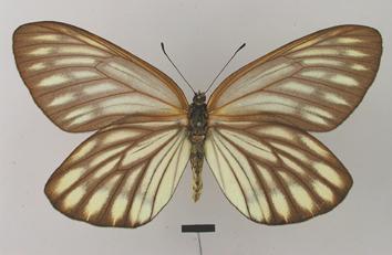 Aporia largeteaui (Oberthür, 1881)