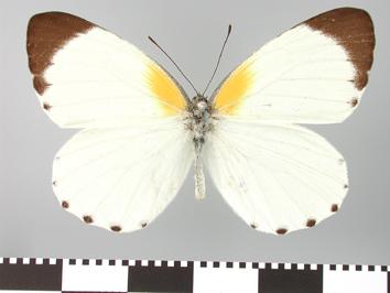 Mylothris poppea (Cramer, 1777)
